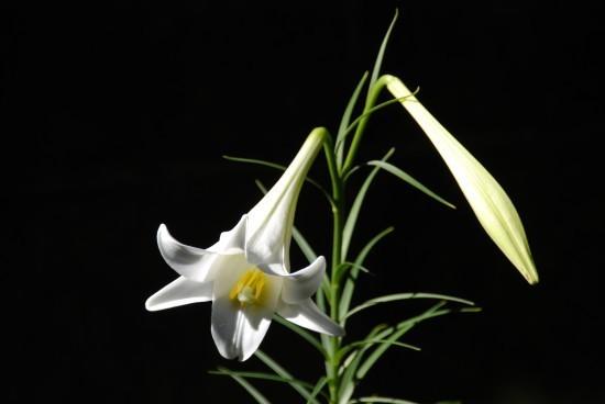 日本の鉄砲百合がイースターの象徴になったわけ: 英語で覚える植物名 ...